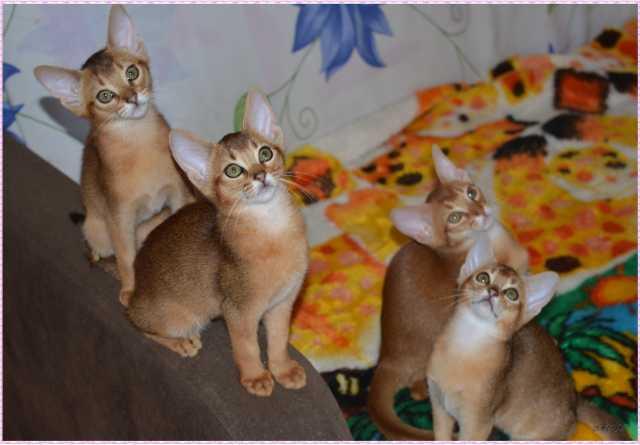 Продам Абиссинские котята