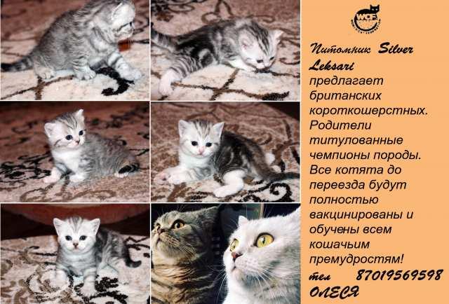 Продам Британские короткошерстные котята