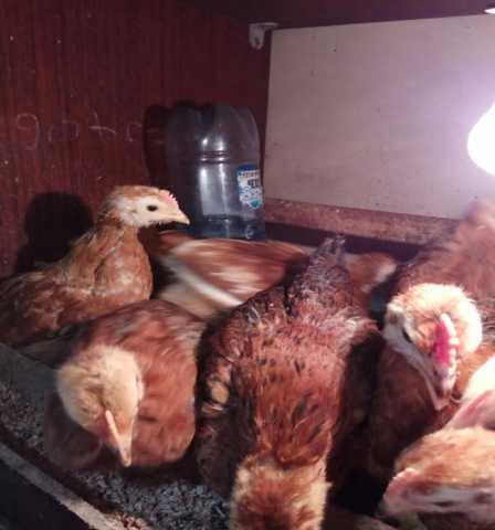 Продам цыплята 1.5 месячные