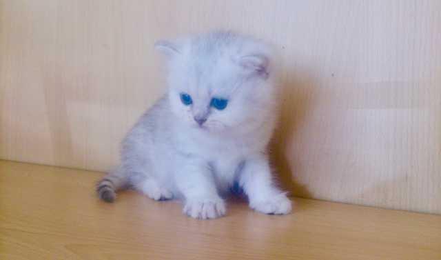 Продам Чистокровные британские котята редких ок
