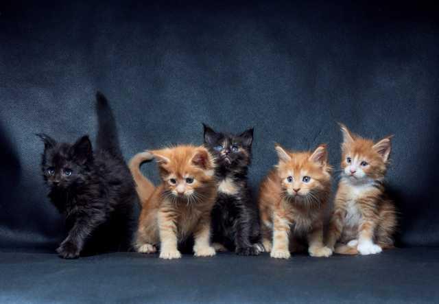 Продам Предлагаются котята породы мейн-кун