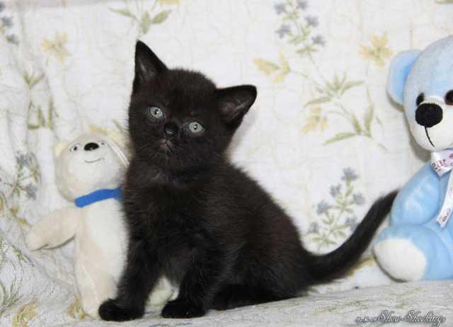 Продам Британские котята,окрасы однотонные.