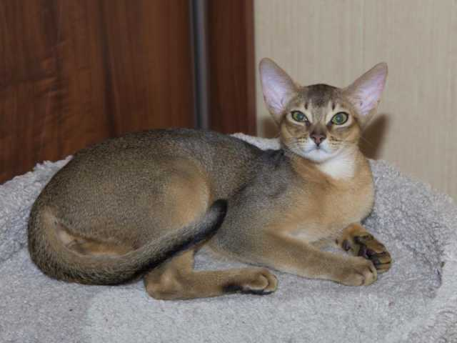 Продам Абиссинский котик
