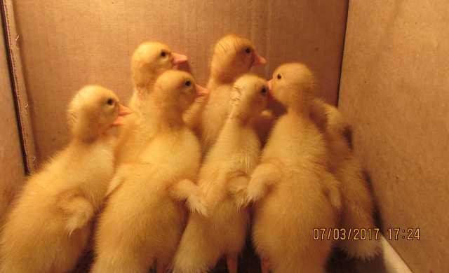 Продам Цыплята утята