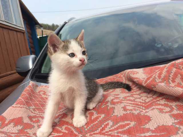 Отдам даром Умненький котенок необычного окраса