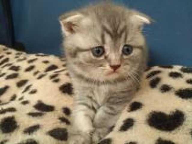 Продам Шотландские котята -вислоухие и прямоухи
