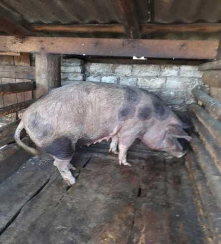 Объявления куплю свиней москва бесплатно подать объявление репетитор спб