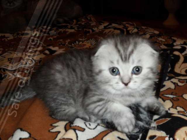 Продам: Шотландские котята -вислоухие и прямоухи