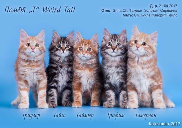 Продам Шикарные котята-куцехвостики из питомник