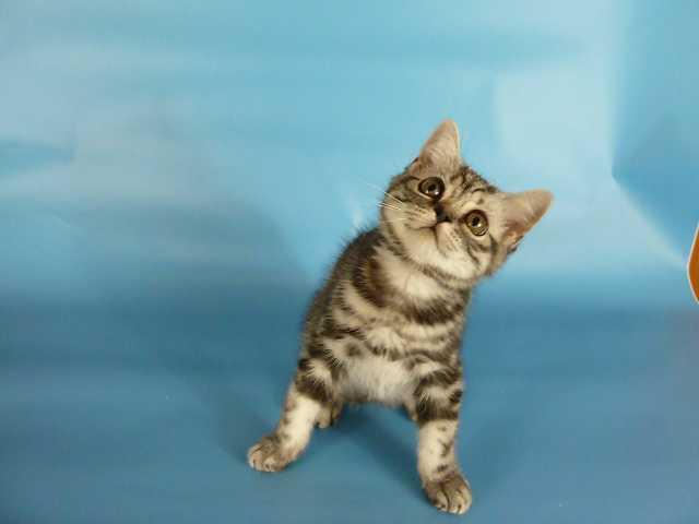 Продам Чистокровные британские котята.