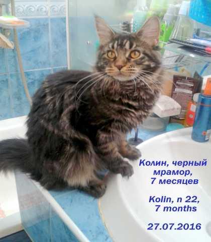 Продам: Молодая кошка породы мейн-кун