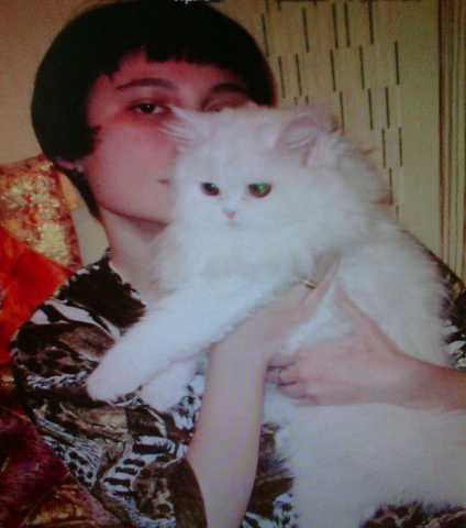 Отдам даром кошка перс,классик ,белоснежная.