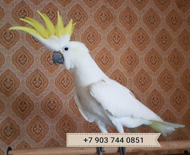 Продам Какаду Элеонора - птенцы из питомников