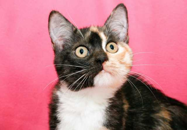 Отдам даром Очаровашка котенок Мармеладка в дар