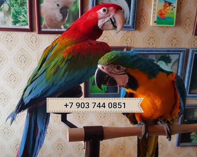 Продам Попугаи ара - птенцы из питом. Европы