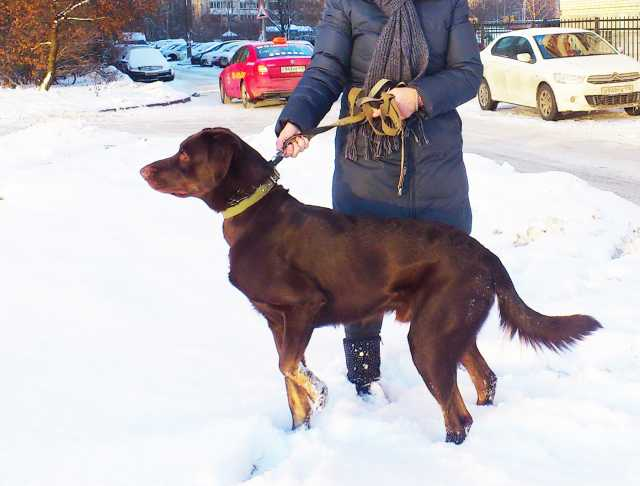 Отдам даром Метис курцхаара, серьезный пес для серье