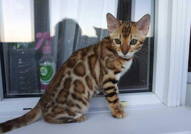 Продам Бенгальские котята леопардового окраса