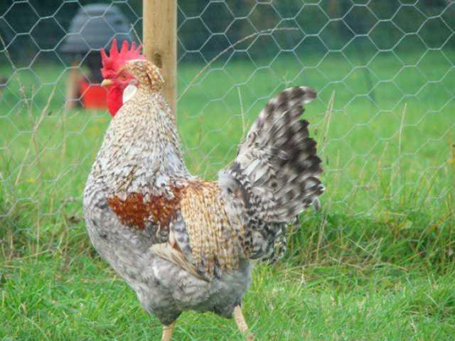 Продам Легбар - яйцо, цыплята, петушки на племя
