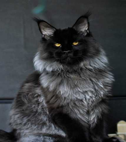 Продам Мейн Кун котята питомника Wariwat