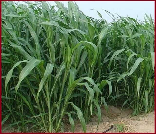 Продам Семена суданской травы Краснодарская 75