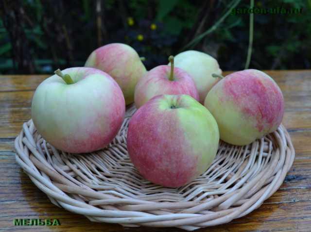 Продам Яблоки, груши из сада: Уэлси, Мельба