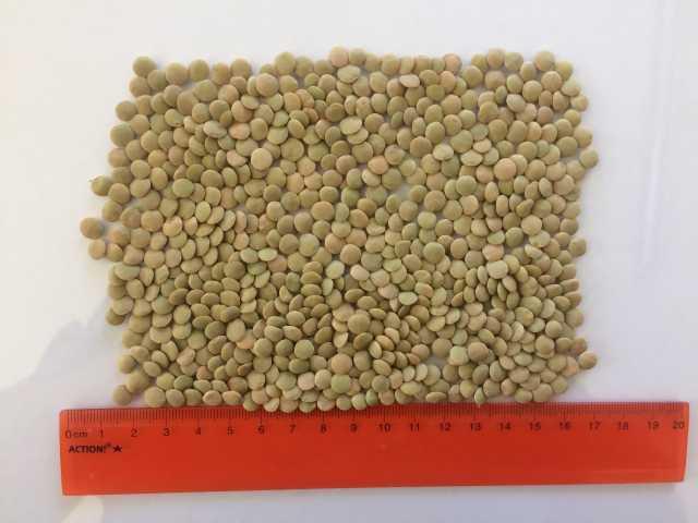 Продам Чечевица зелёная тарелочная 6 + (оптом)