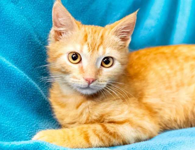 Отдам даром Рыжие котята Ларсон и Империя девочки