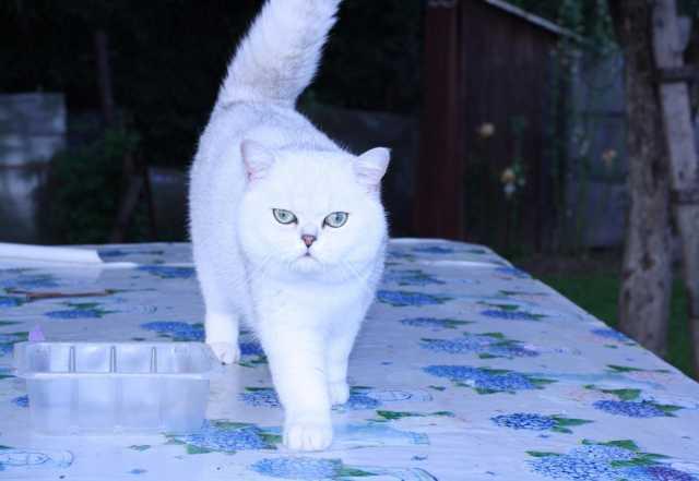 Продам Серебристый кот для вязки