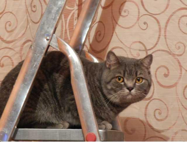 Продам шотландский кот с родословной