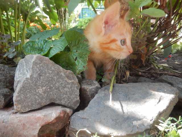 Продам рыженький котёнок