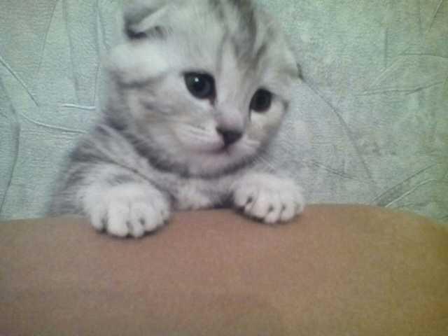 Продам: Вислоухие и прямоухие котята