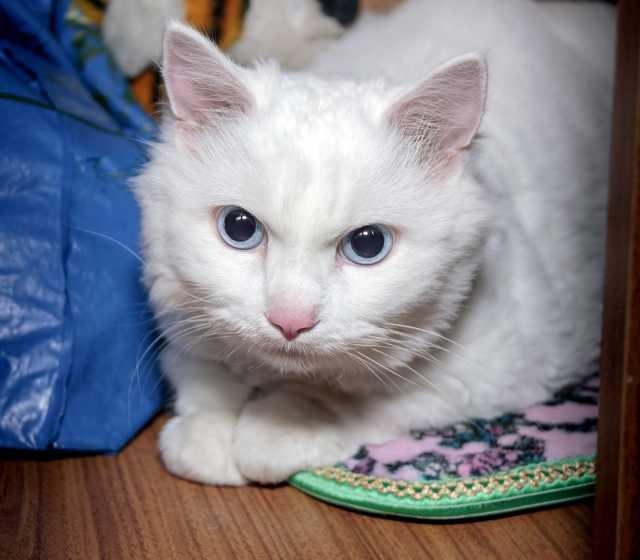 Отдам даром Кот альбинос