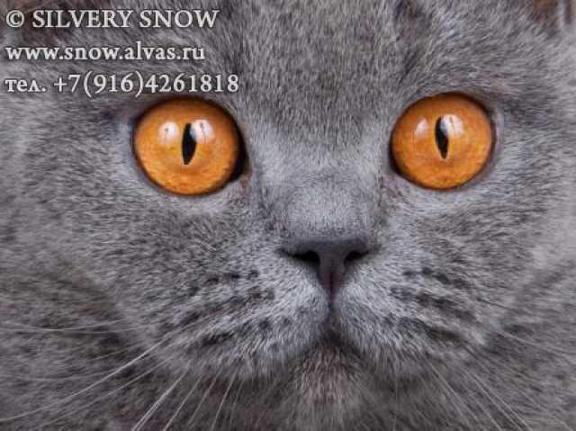 Продам: Плюшевые голубые британские котята