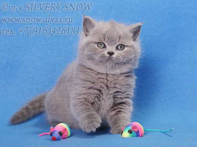 Продам Британские плюшевые котята