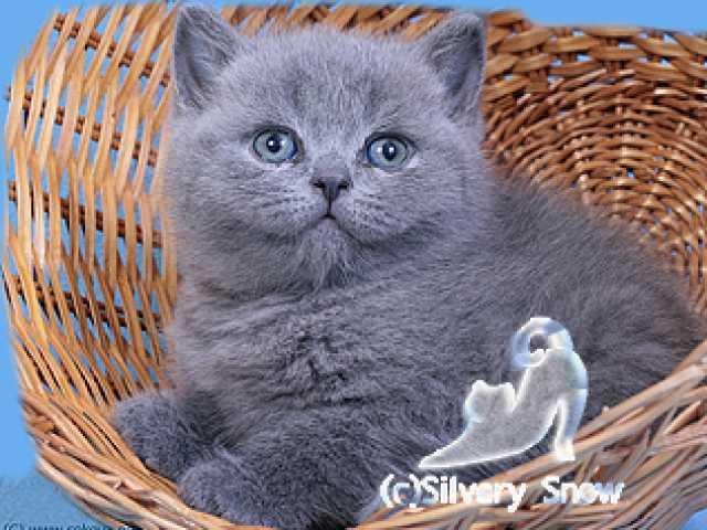 Продам Британские элитные котята