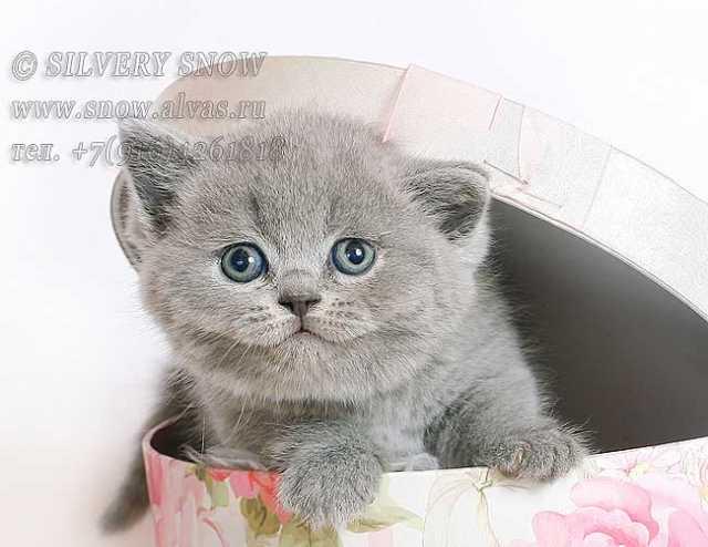 Продам: Британские котята из питомника Москвы