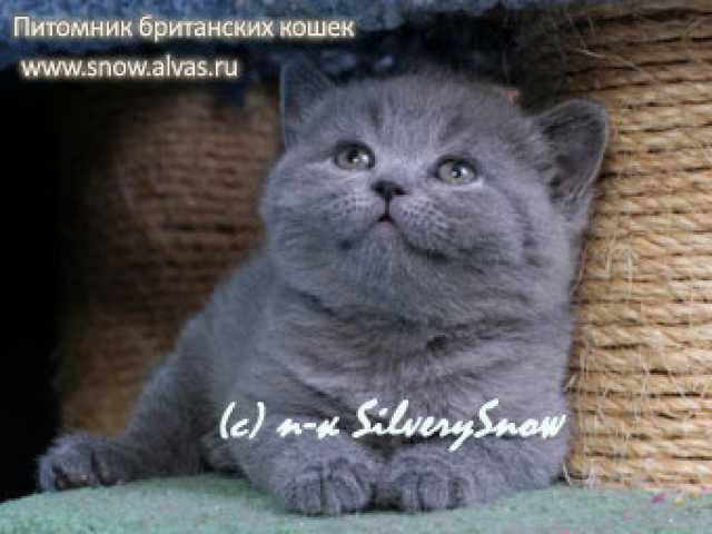 Продам: Британские котята из питомника из Москвы