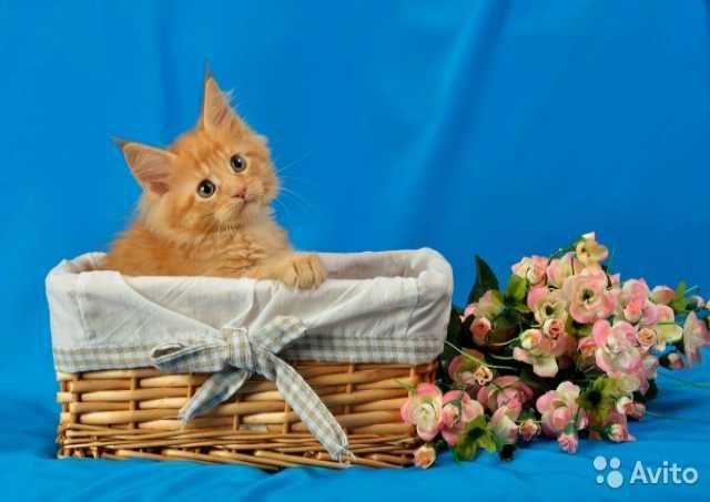 Продам Мейн-кун котята
