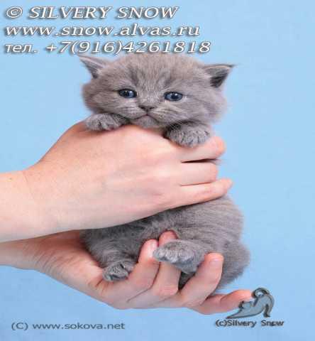 Продам Британские котята из питомника Москвы