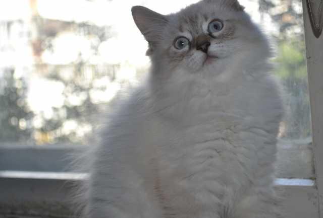 Продам Невская маскарадная (сибирская) кошка
