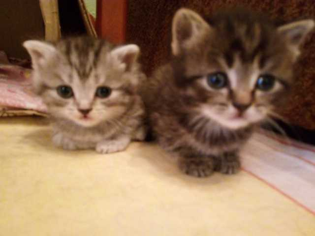 Отдам даром: Котят в добрые ручки