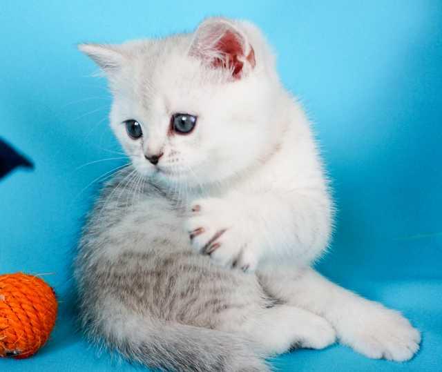 Продам Британских чистокровных котят