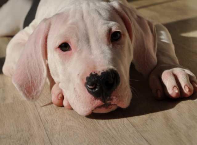 Продам щенки Аргентинского дога(5 сук и кобель)