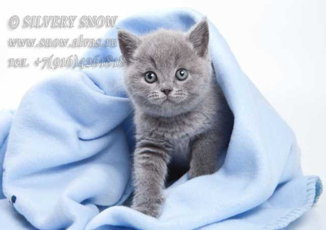 Продам Британские котята. Питомник Silvery Snow