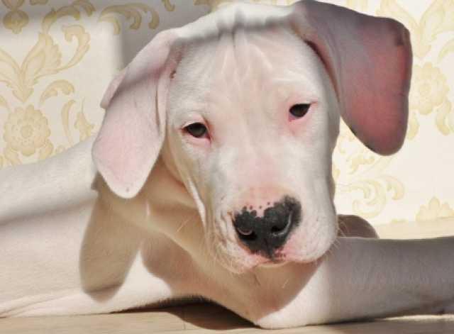 Продам 2 мес. щенки аргентинского мастифа