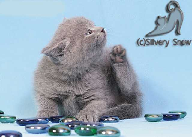 Продам Голубые британские котята