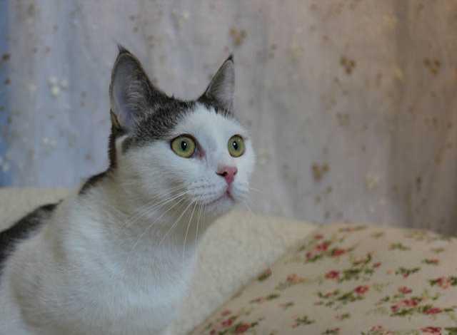 Отдам даром Молодой котик Свитти ищет семью!