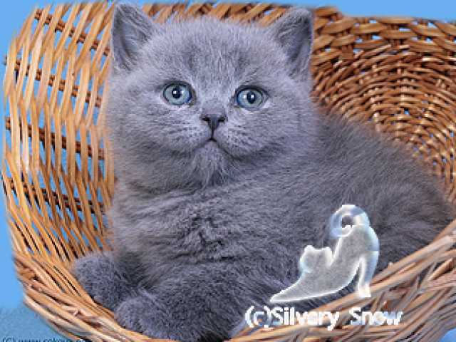 Продам Британские котята из питомника Серебрист