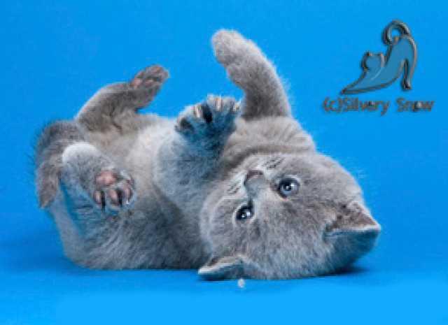 Продам: Голубые британские котята