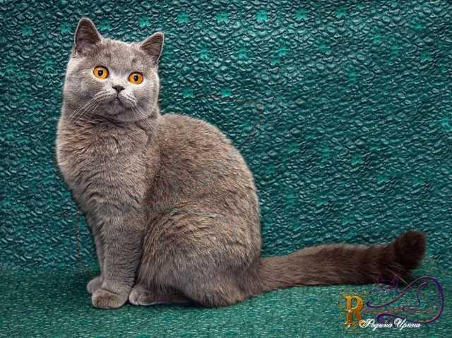 Продам Голубой котик